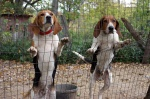 Charlie Olivers Coon Hounds
