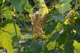 Keels Creek Light Grapes